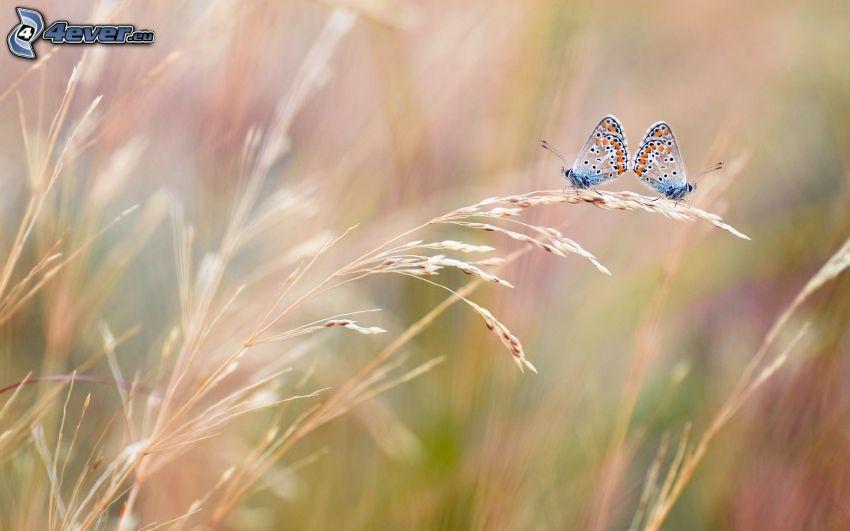 fjärilar, parning, strå