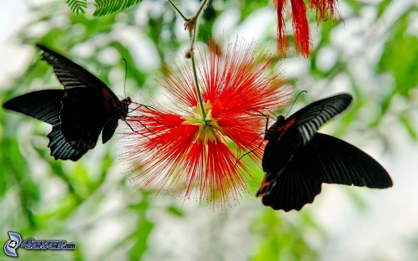 fjärilar, röd blomma