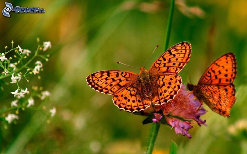 fjärilar, rosa blomma