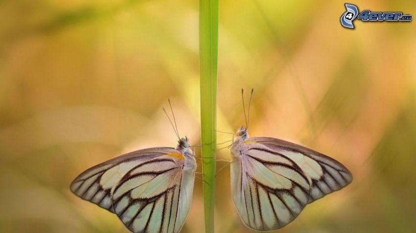 fjärilar, strå