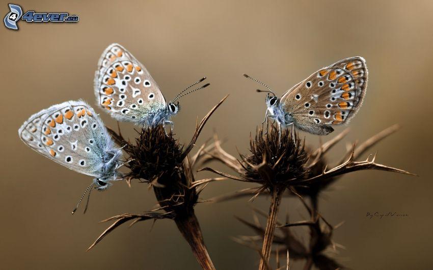 fjärilar, tistel