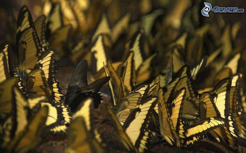 fjärilar, vingar