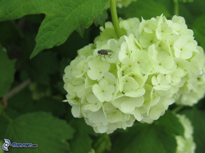 fluga, vit blomma