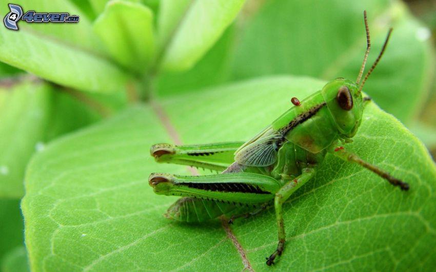 gräshoppa, löv