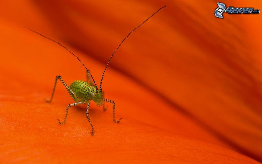 gräshoppa, makro
