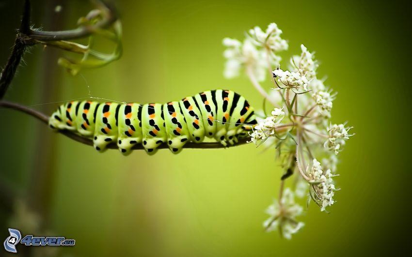 grön larv, vit blomma