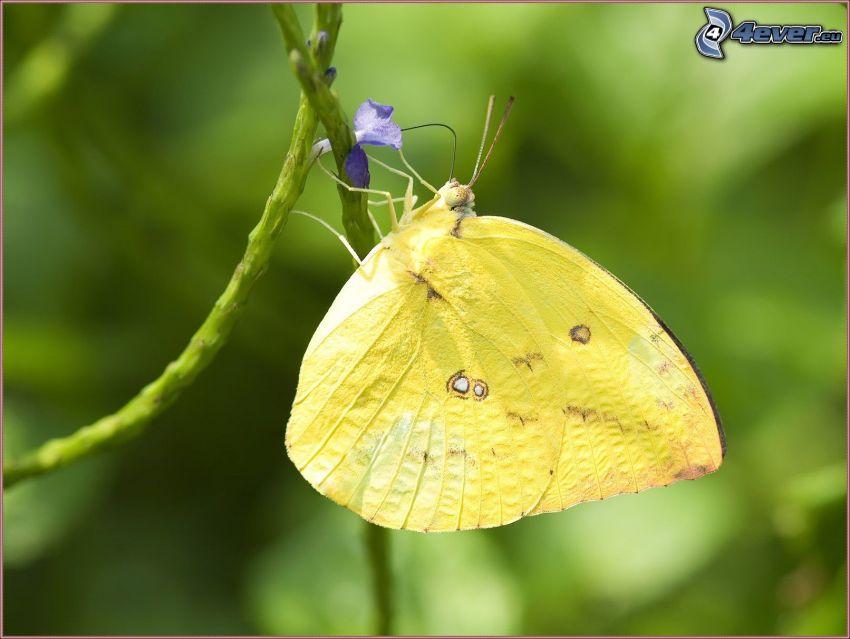 gul fjäril, blå blomma
