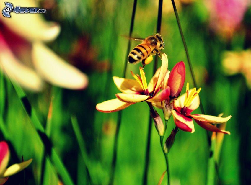 humla, blommor