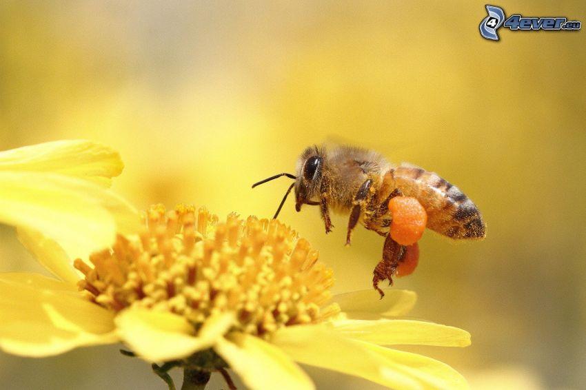 humla, gul blomma