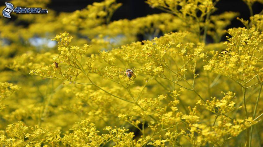 humla, gula blommor