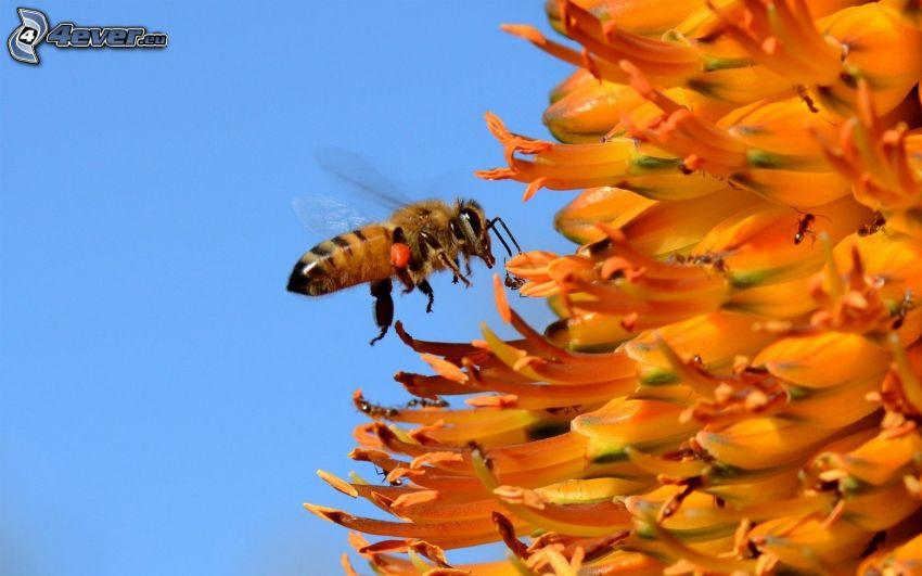 humla, orangea blommor