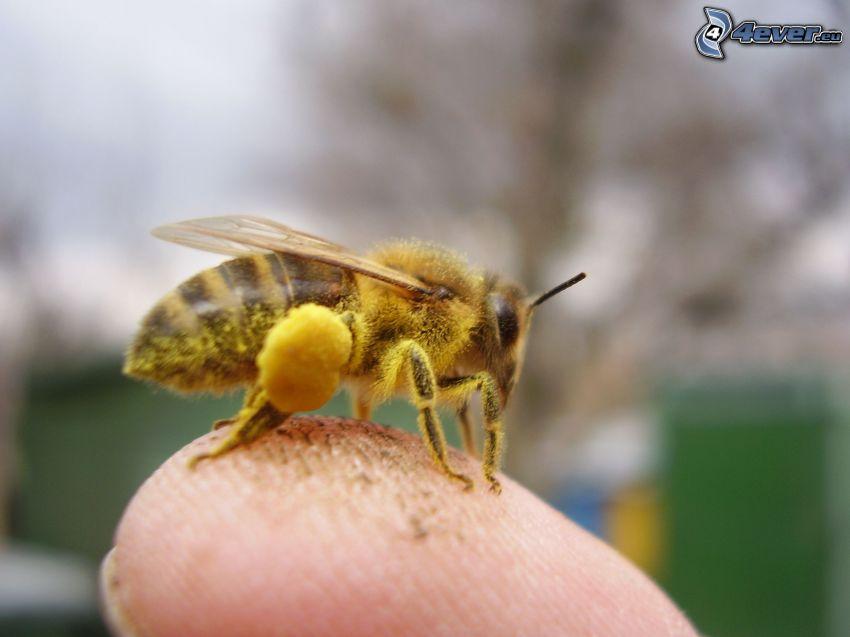 humla, pollen, finger