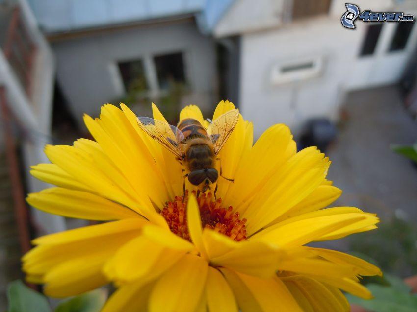 humla på en blomma, gerbera, gul blomma