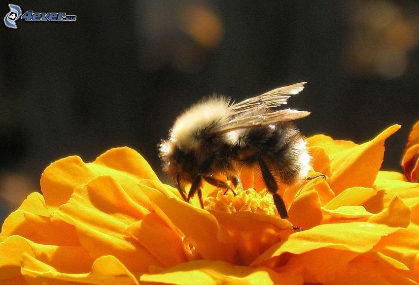 humla på en blomma, gul blomma, makro