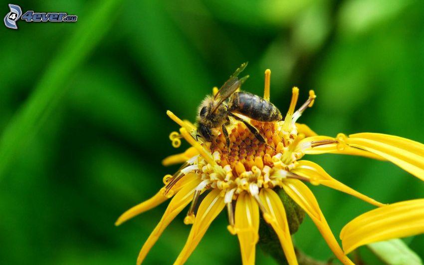 humla på en blomma, gul blomma