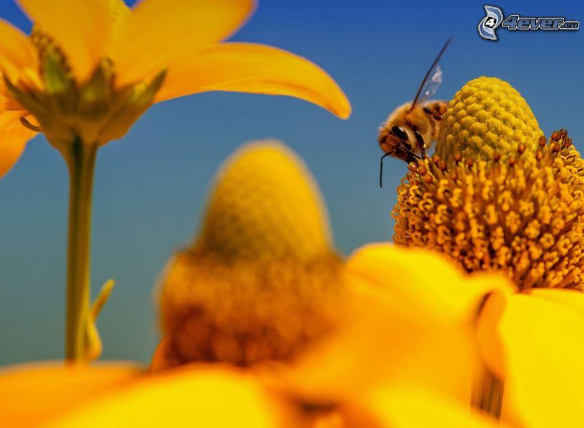 humla på en blomma, gula blommor
