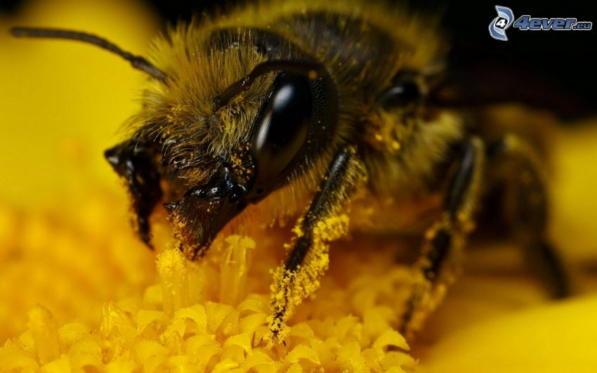 humla på en blomma, makro, gul blomma, pollen