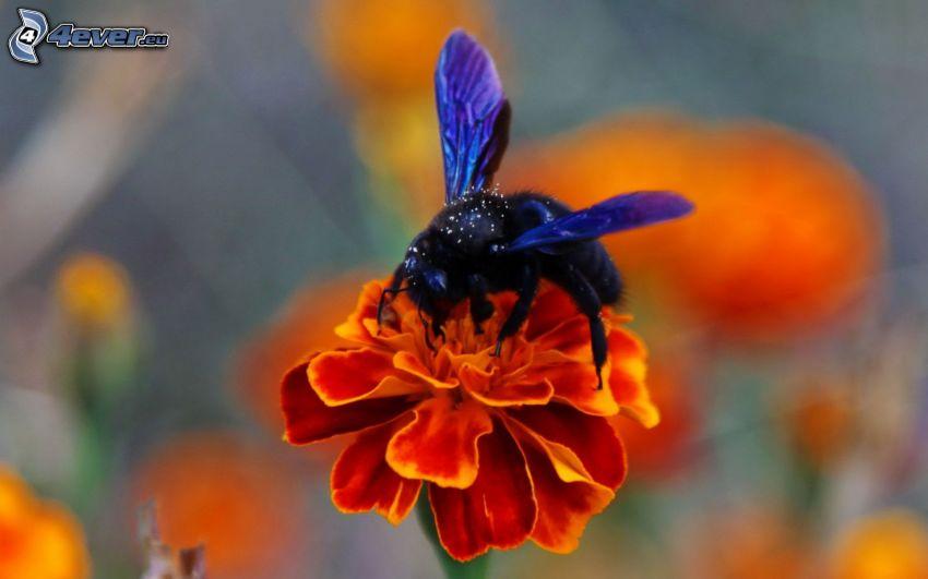 humla på en blomma, orange blomma, makro