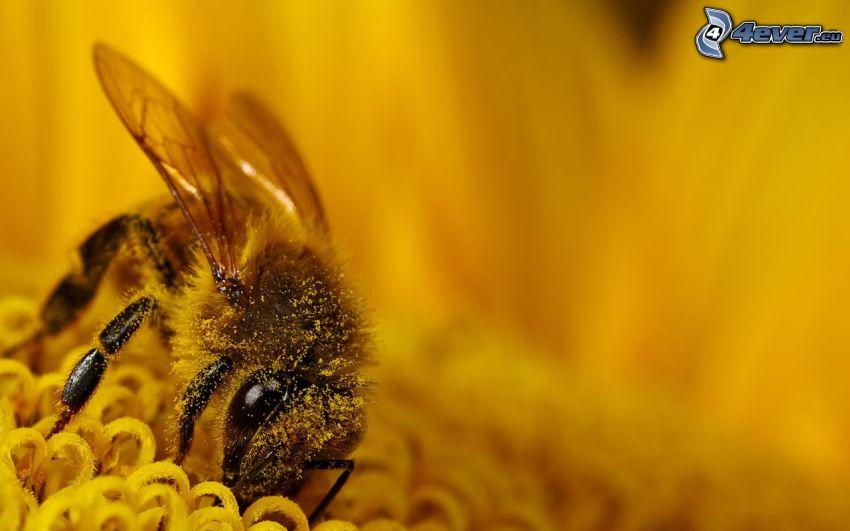 humla på en blomma, pollen