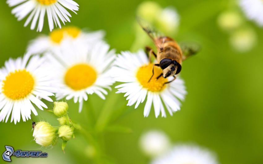 humla på en blomma, prästkragar