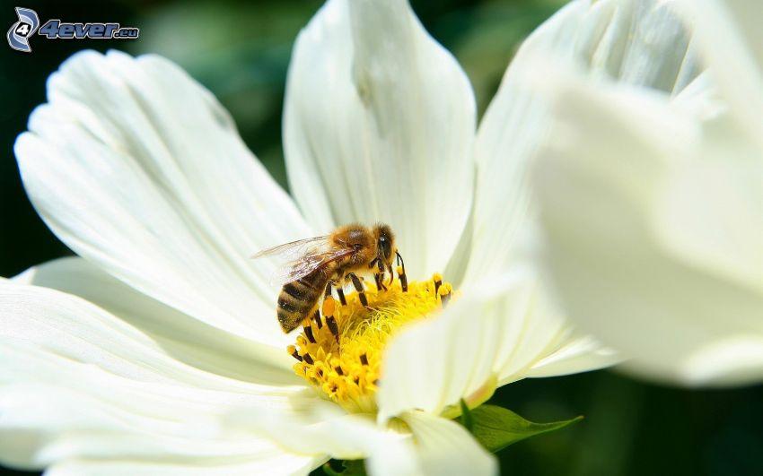 humla på en blomma, vit blomma