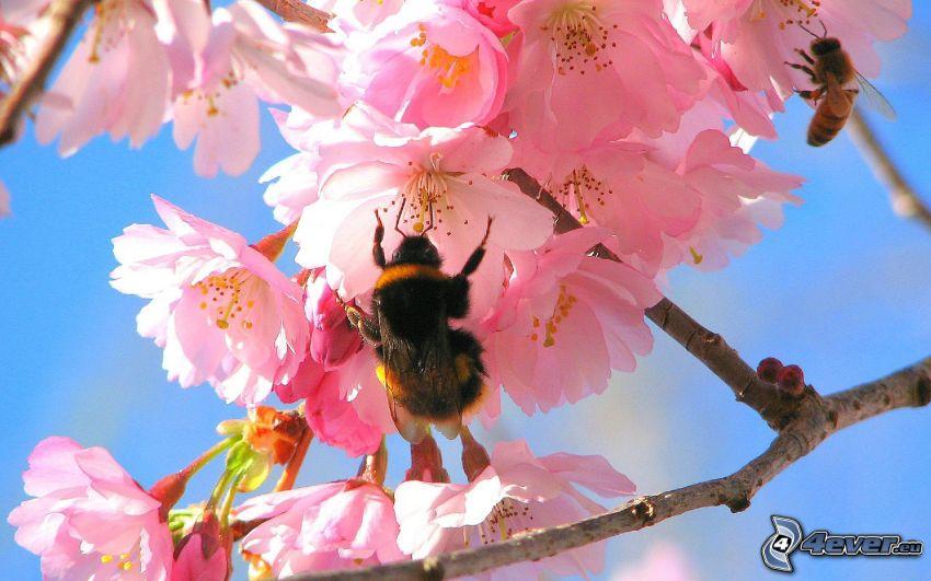 humlor, blommande körsbärsträd