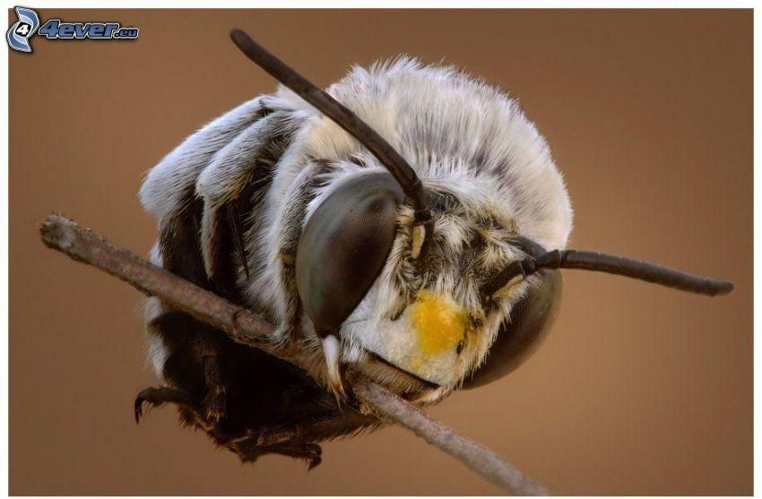 insekt, pinne, makro