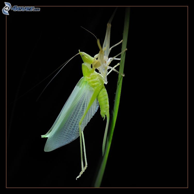 insekt, strå