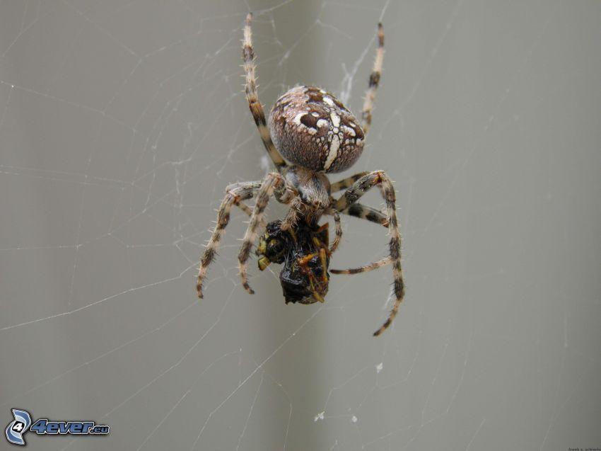 Korsspindel, spindel