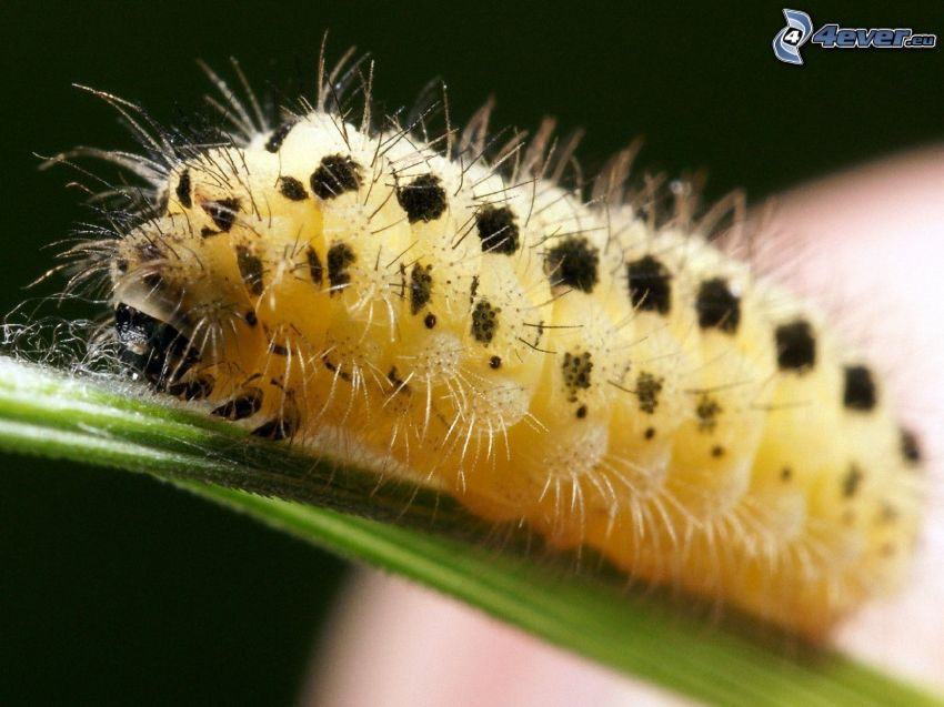 larv, makro