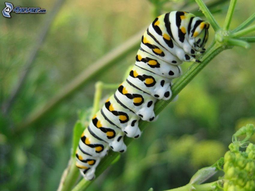 larv, växt, makro