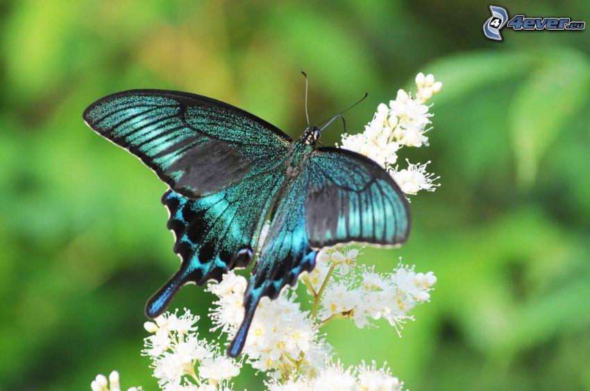 Makaonfjäril, blå fjäril, vit blomma
