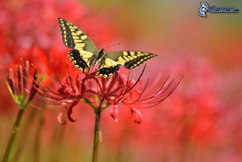 Makaonfjäril, blomma