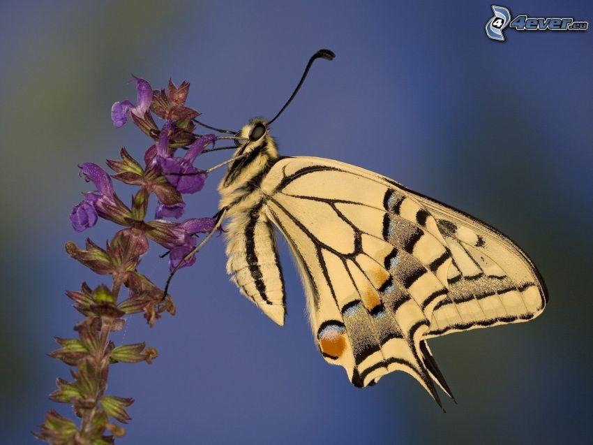 Makaonfjäril, fjäril på en blomma, makro