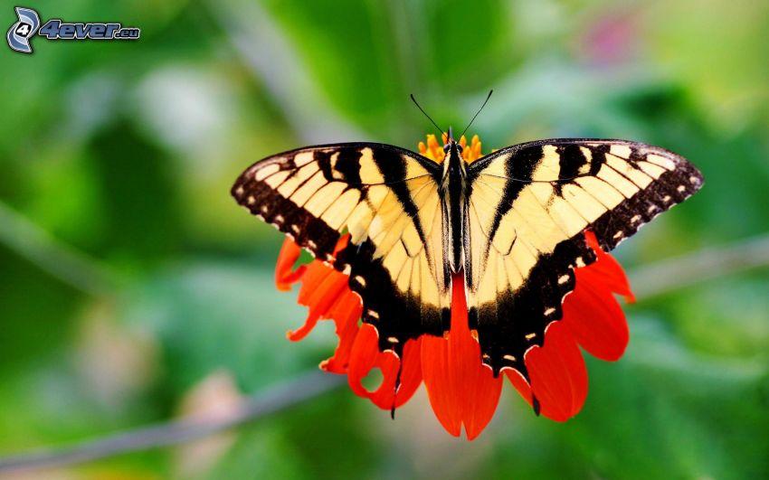 Makaonfjäril, fjäril på en blomma, röd blomma