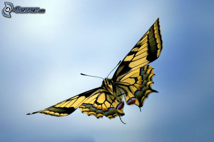 Makaonfjäril, flyg