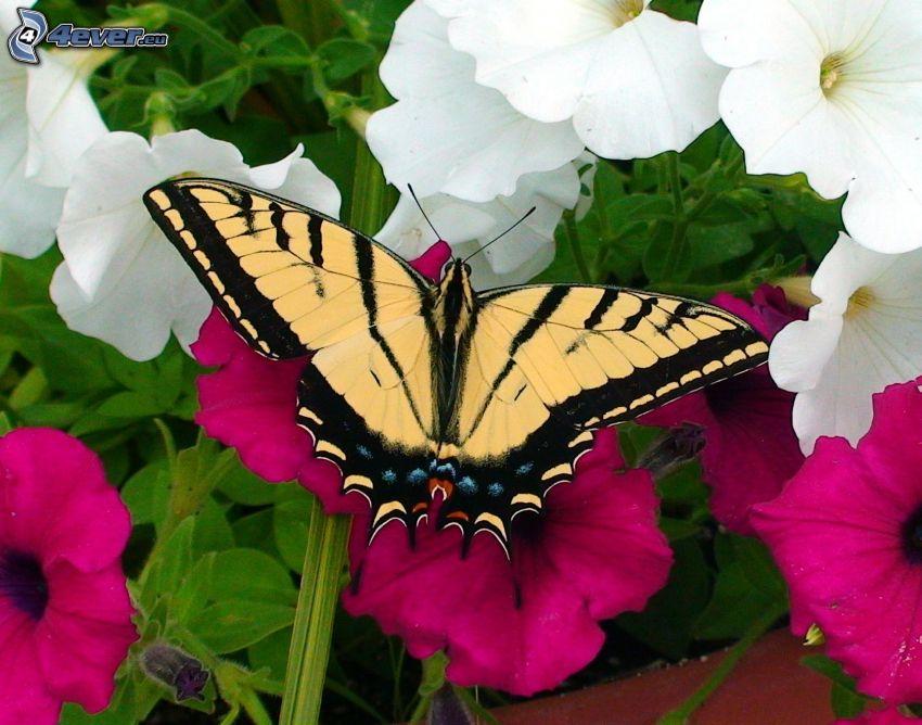 Makaonfjäril, rosa blommor, vita blommor