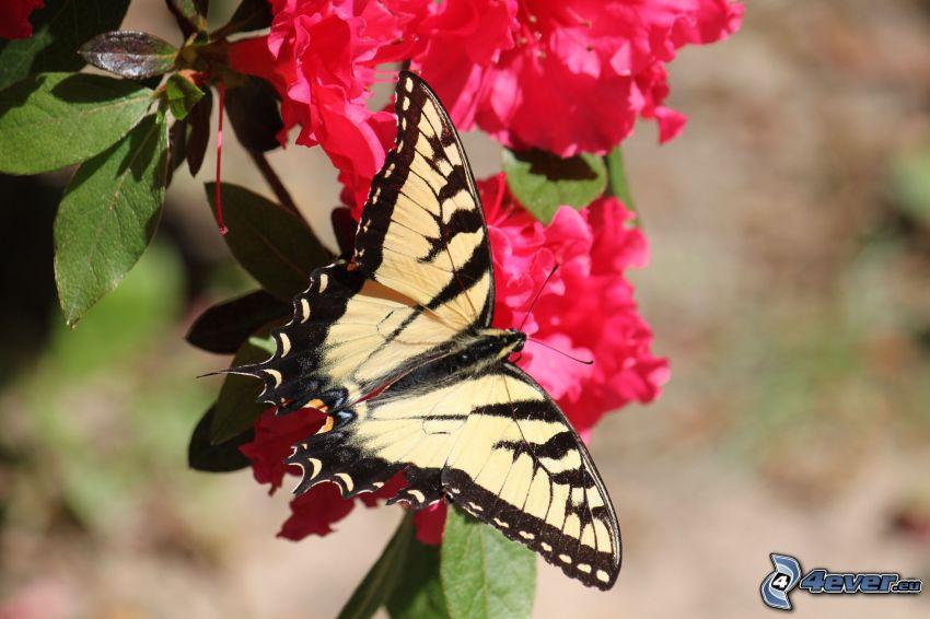 Makaonfjäril, rosa blommor