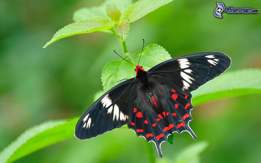 Makaonfjäril, växt, svart fjäril