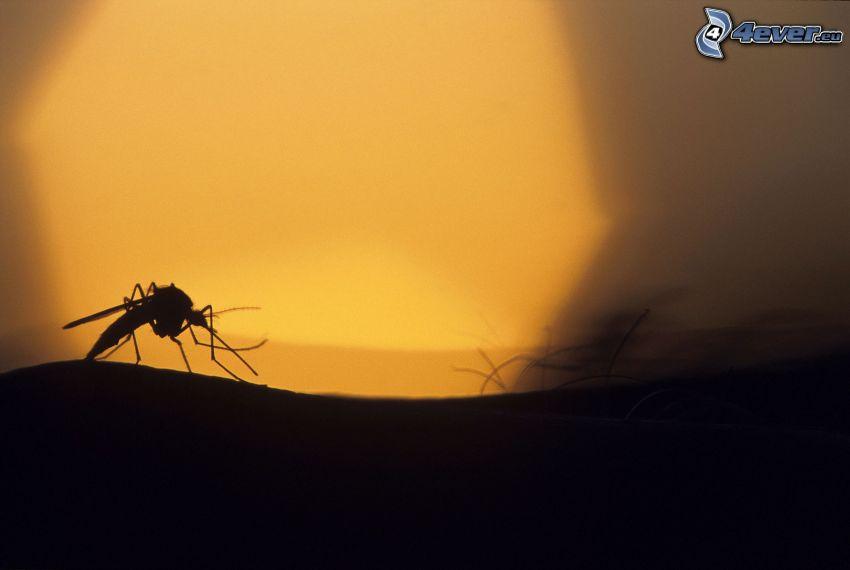 mygga, hårstrån, silhuett