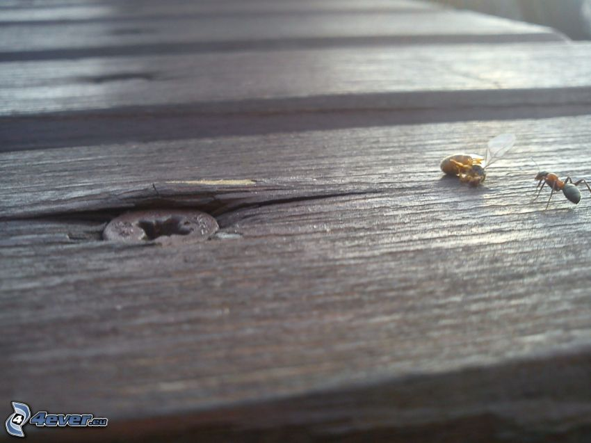 myra, bi, insekt, trä, spik
