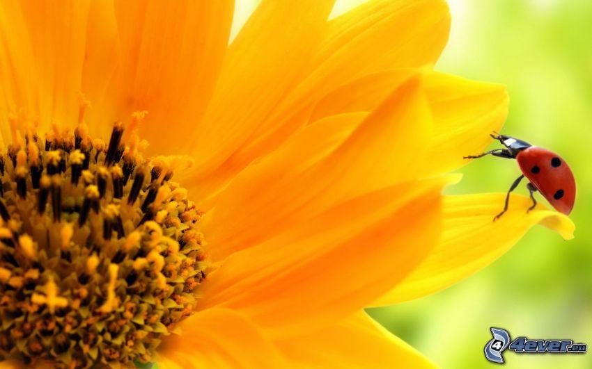 nyckelpiga, gul blomma