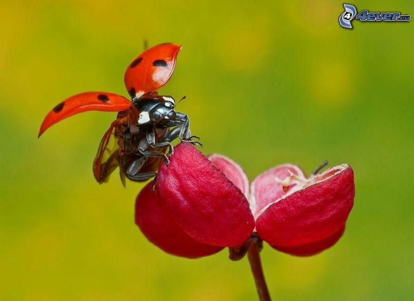 nyckelpiga, vingar, röd blomma