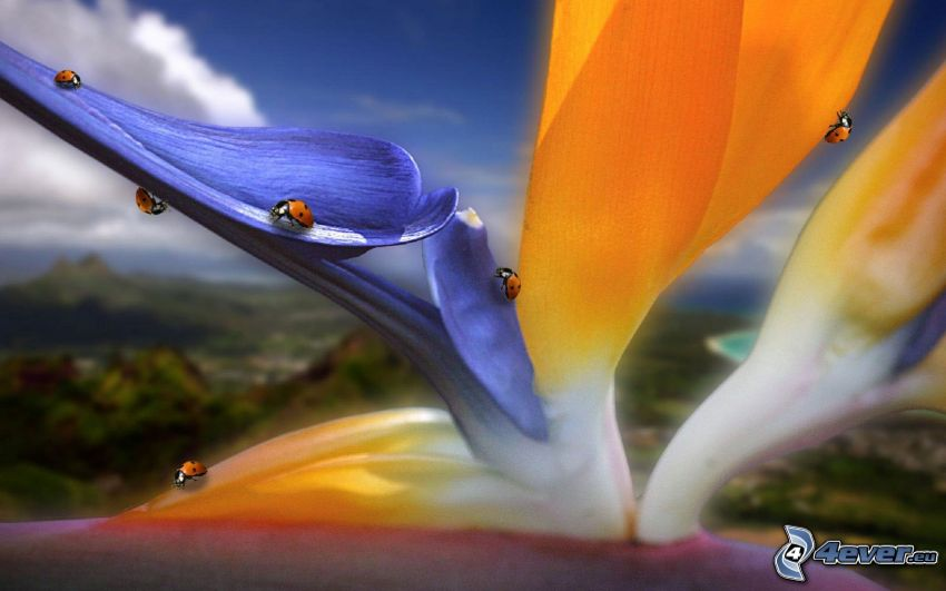 nyckelpigor, blomma