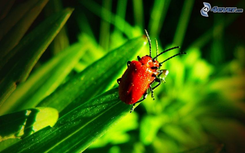 skalbaggar, parning, grönt blad