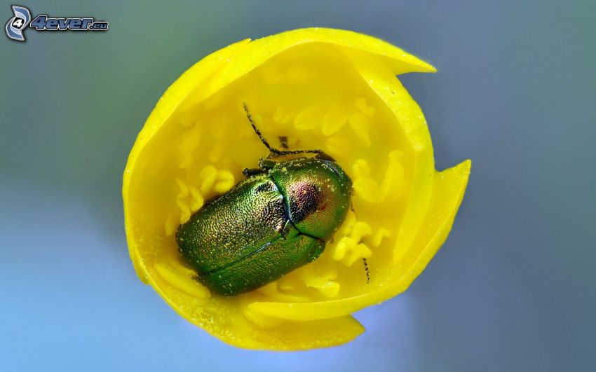 skalbagge, gul blomma