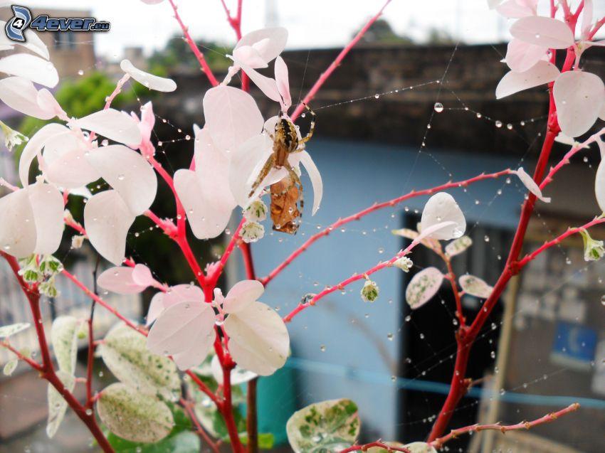 spindel, buske
