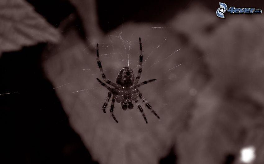 spindel, spindelnät