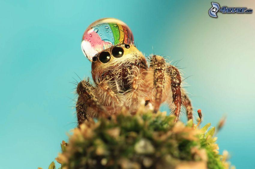 spindel, vattendroppe, makro