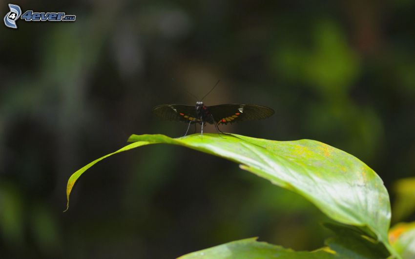 svart fjäril, löv